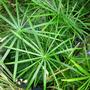 Umbrella_palm_aquatic_cyperus_alternifolious_9_02_08_sm
