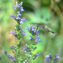 Hummer and Great Blue Lobelia (Lobelia siphilitica)