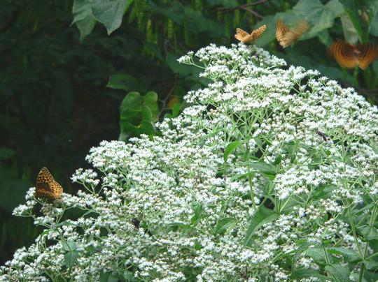 Great Spangled Fritillary Butterflies (Eupatorium perfoliatum)