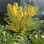 mahonia (Mahonia japonica (Mahonia))
