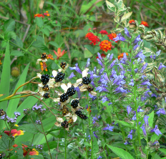 Blackberry Lily Great Blue Lobelia (Balemcanda chinesis)