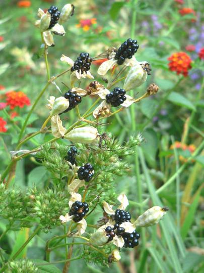 Blackberry Lily (Balemcanda chinesis)