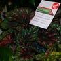 Begonia rex (King begonia)