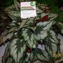 Bomere Heath Show (Begonia rex (King begonia))