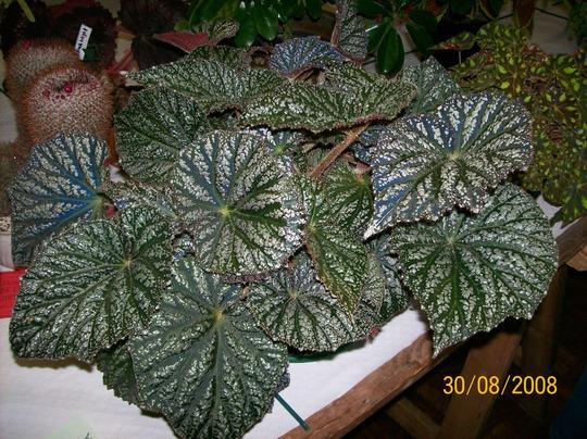Pontesbury Show (Begonia rex (King begonia))