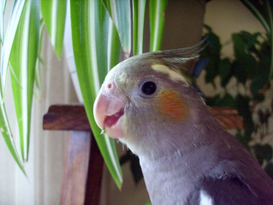 """Lucy"" My new Plant friend (Cockatiel)"