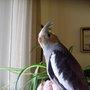 Lucy-loo again! (Cockatiel)