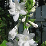 hosta Plantaginea blooms (Hosta plantaginea (Fragrant Plaintain Lily))