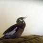 Cockatiel (Cockatiel)