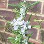 Rosmarinus officinalis 'Miss Jessop's Upright' (Rosmarinus officinalis 'Miss Jessop's Upright')