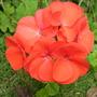 Orange/Red Geranium (pelargoniums)