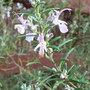 Rosmarinus officinalis 'Roseum' (Rosmarinus officinalis 'Roseum')