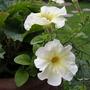 Prism Sunshine Petunia