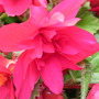 Red Cascade Begonia