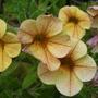 Yellow Million Bells Petunia