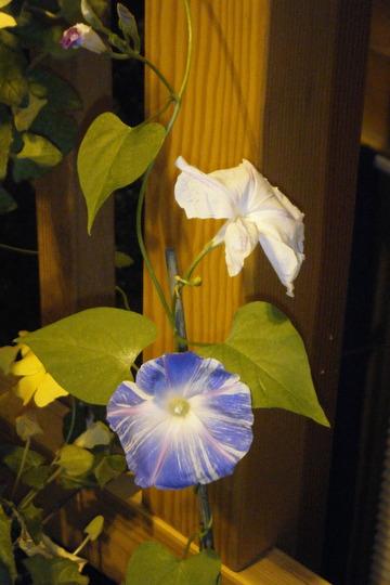 Morning Glory (Ipomoea purpurea (Morning glory))