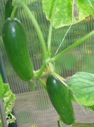 """Cucumber """"Mini Munch"""""""