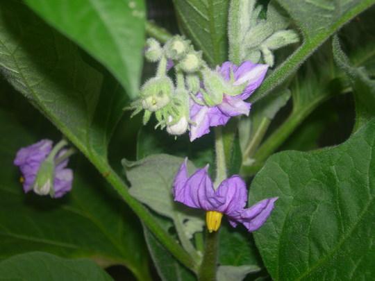 """Aubergine/Eggplant """"Fairytale"""""""
