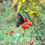 "Spicebush Swallowtail Butterfly (Lantana camara (Lantana) ""Dallas Red"")"
