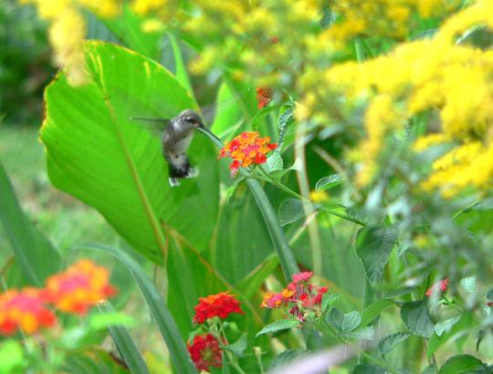 "Ruby-throated Hummingbird  (Lantana camara (Lantana) ""Dallas Red"")"
