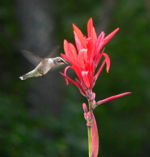 Ruby-throated Hummingbird on Canna (Canna indica (Indian shot plant) unknown Red)