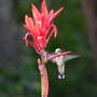 Hummer on Canna (Canna indica (Indian shot plant) unknown Red)
