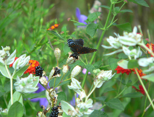Red-spotted Purple Butterfly (Balemcanda chinesis)
