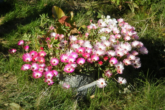 Dorotheanthus (Mesembryanthemum crystallinum (Buzotu))