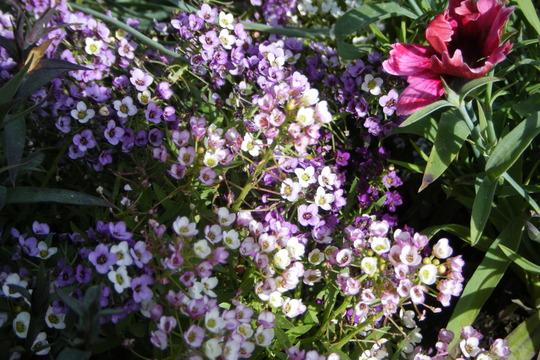 """Easter Basket"" Allysum (Lobularia maritima)"