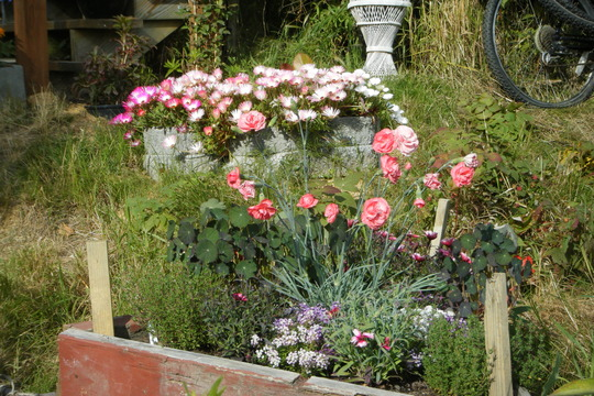 NW Pink bed and Daisies