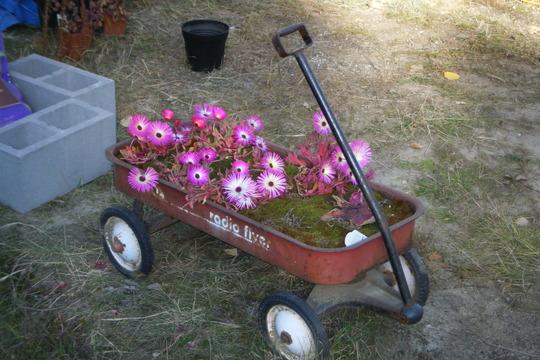 Daisies in the wagon (Mesembryanthemum crystallinum (Buzotu))