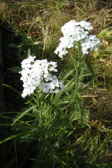 Yarrow (Achillea millefolium (Yarrow))