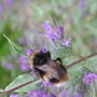 Bee_on_caryopteris