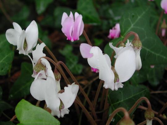 White Cyclamen. (Cyclamen hederifolium)
