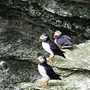 westray puffins