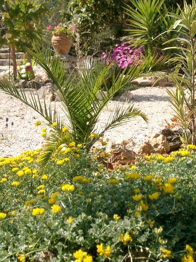 Phoenix canariensis palm