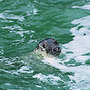 common seal orkney