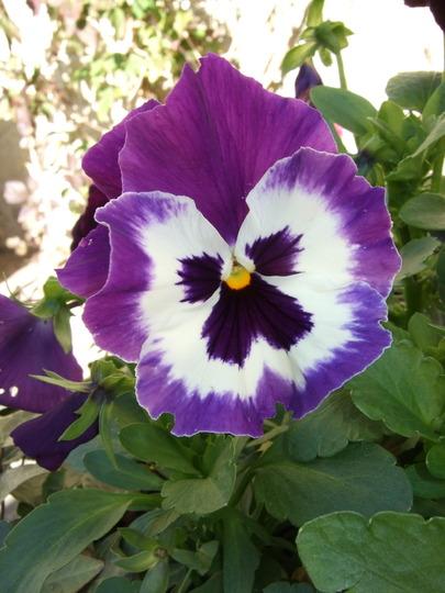 Winter Pansy (Viola x wittrockiana)