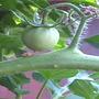 baby tomato (Lycopersicon esculentum (Tomato))