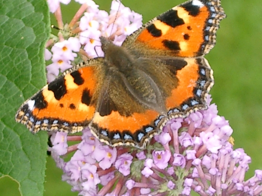 Small Tortoishell again.