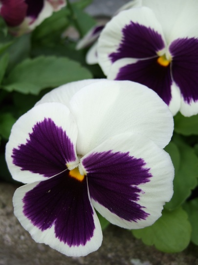 Winter_pansy_2.jpg