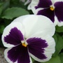 Winter_pansy_2