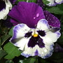 Winter_pansy
