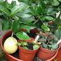 my lemon tree