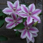 Clematis_carnaby