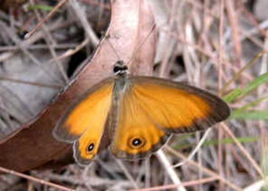 Orange Ringlet Butterfly