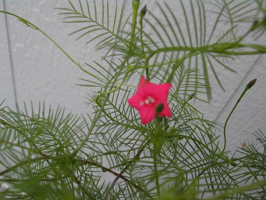 Tiny Pink flowers(cypress vine) (Ipomoea Pennata)