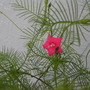 Tiny Pink flowers(cypress vine) (Ipomoea Pennata)