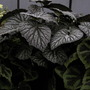 Foilage Begonia  (Begonia)
