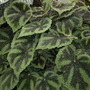 Foilage Begonia (Begonia)